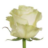 Roses, Mondial (Choose 50 or 100 stems)