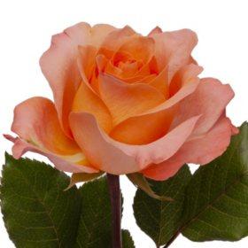 Roses, Coral Reef (Choose 50 or 100 stems)