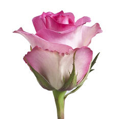 Roses, Pink (Choose 50 or 100 stems)