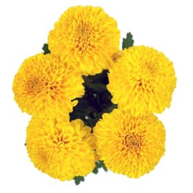 Lollipop Mums, Yellow (75 stems)