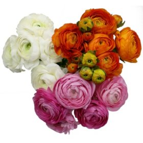 Ranunculous, Mixed Colors (60 Stems)