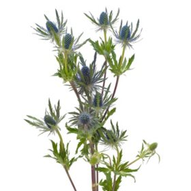 Eryngium, Blue Lagoon (Choose 50 or 90 stems)