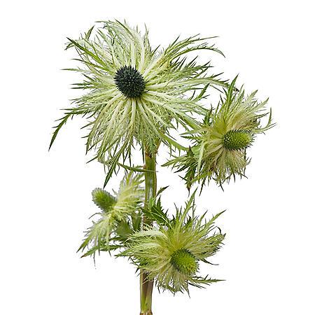 Eryngium, Light Green Jackpot (Choose 50 or 90 stems)