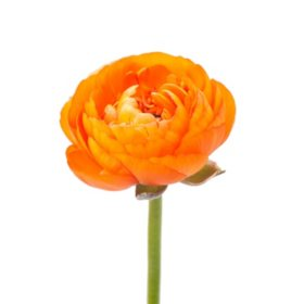 Ranunculus, Orange (choose stem count)