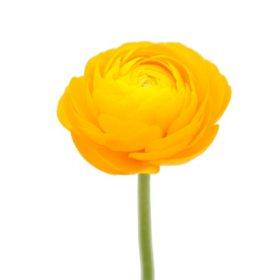 Ranunculus, Yellow (choose stem count)