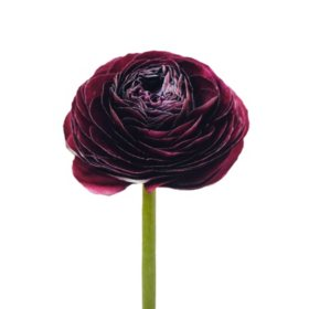 Ranunculus, Burgundy (choose stem count)
