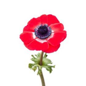 Anemones, Red (choose stem count)