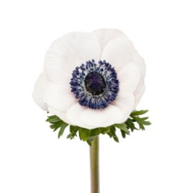 Anemones, Marianne Panda (choose stem count)