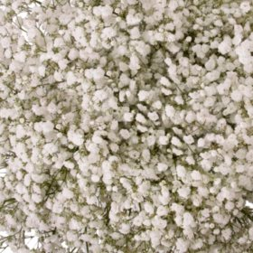 Gypsophila 'Baby's Breath', Snowball (5 or 10 bunches)
