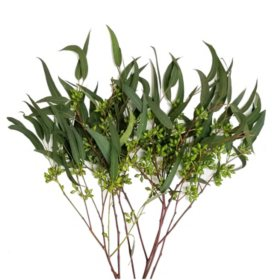 Eucalyptus Willow Seeded (40 stems)