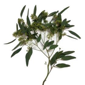 Cupped Seeded Eucalyptus (40 stems)