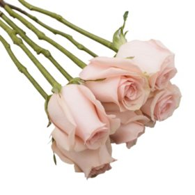 Do-It-Yourself Wired Roses, Pink (50 or 100 stems)