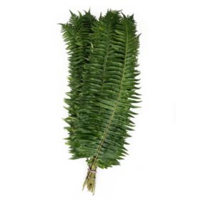 Flat Fern (10 Bunches)