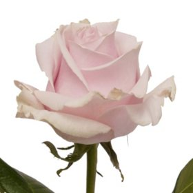 Roses, Pink Mondial (50 or 100 stems)