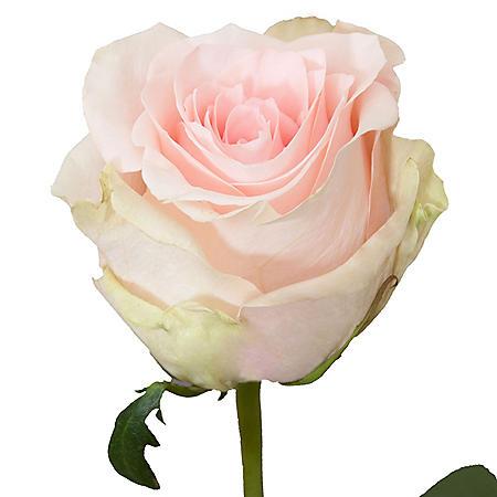 Roses, Salma (50 or 100 stems)
