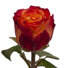 Roses, Atomic (50 or 100 stems)