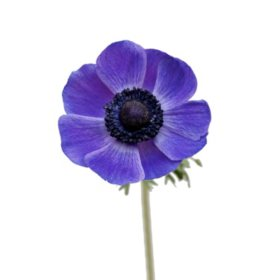 Anemones, Blue (choose stem count)