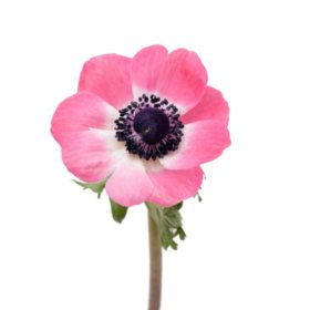 Anemones, Coral (choose stem count)