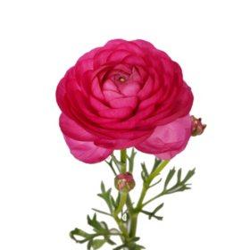 Ranunculus, Hot Pink (choose stem count)