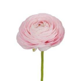 Ranunculus, Light Pink (choose stem count)