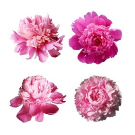 US Grown Peonies, Assorted (50 stems)