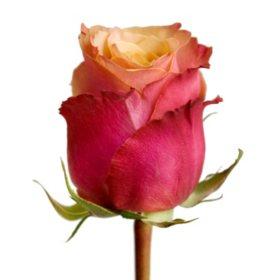 Roses, Cherry Brandy (choose 50 or 100 stems)