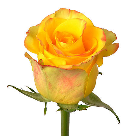 Roses, High and Yellow (100 stems)
