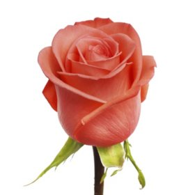 Roses, Coral Movie Star (choose 50 or 100 stems)