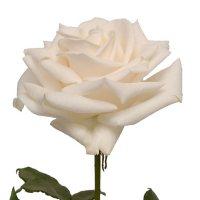 Roses, Vendela (choose 50 or 100 stems)