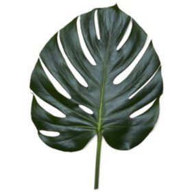 Monstera Palm Leaves (10 or 25 Bunches)