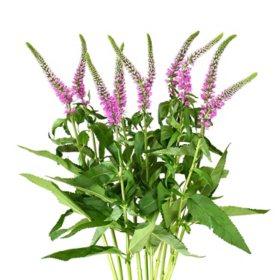 Veronica Flower, Pink (100 stems)