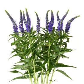 Veronica Flower, Purpleish Blue (100 stems)