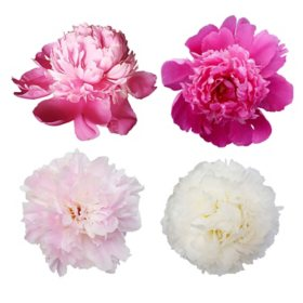 Peonies, Assorted (50 stems)