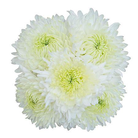 Magnum Mums, White (35 stems)