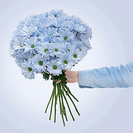 Painted Poms, Placid Blue (60 stems)