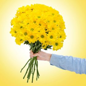 Painted Poms, Yellow (60 stems)