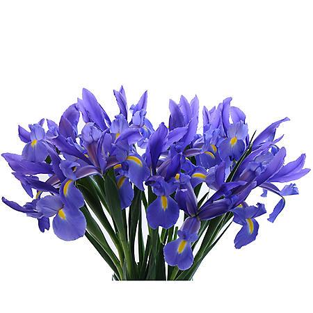 Blue Iris (Choose 50 or 90 stems)