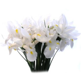 White Iris (Choose 50 or 90 stems)