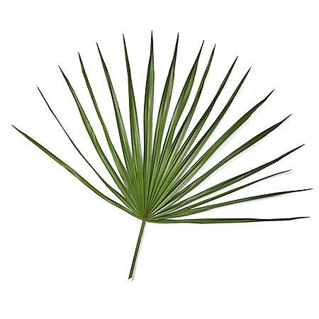 Palmetto Fans (50 stems)
