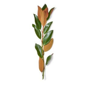 Magnolia Stems (40 stems)