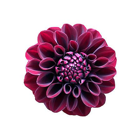 Dahlias, Burgundy (Choose 20 or 40 stems)