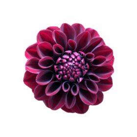 Dahlias, Burgundy (Choose 20 or 40 stems)