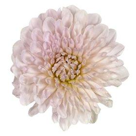 Dahlias, Cream (Choose 20 or 40 stems)
