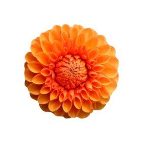 Dahlias, Orange (Choose 20 or 40 stems)