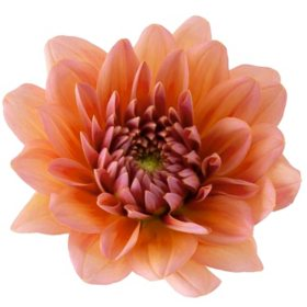 Dahlias, Peach (Choose 20 or 40 stems)