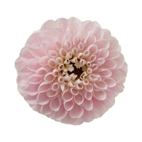 Dahlias, Light Pink (Choose 20 or 40 stems)