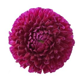 Dahlias, Purple (Choose 20 or 40 stems)