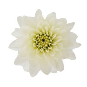 Dahlias, White (Choose 20 or 40 stems)