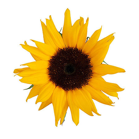 Assorted Brown and Green Center Sunflowers, Direct from Farm (various stem counts)