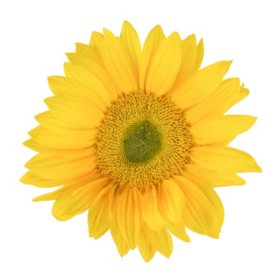 Mini Sunflowers, Yellow Centers (Choose 40 or 90 stems)